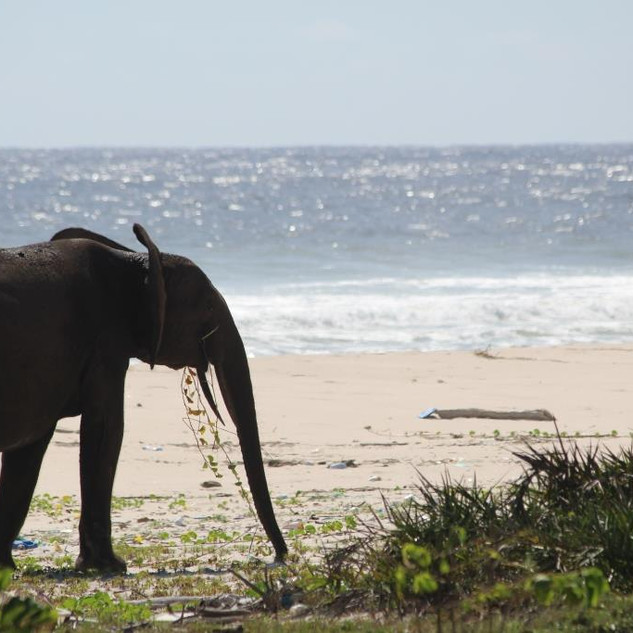 Forest Elephant on the Beach