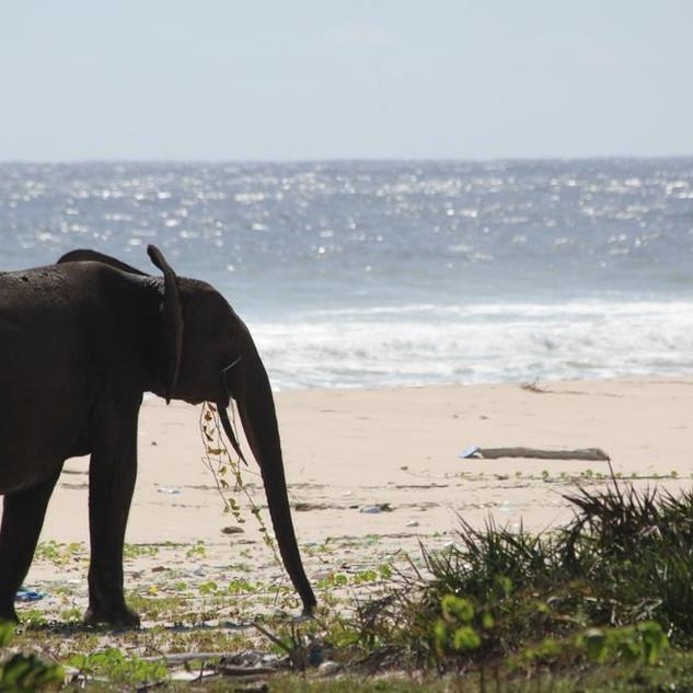 Forest Elephant on the Beach