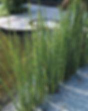 equisetum hyemale.jpg