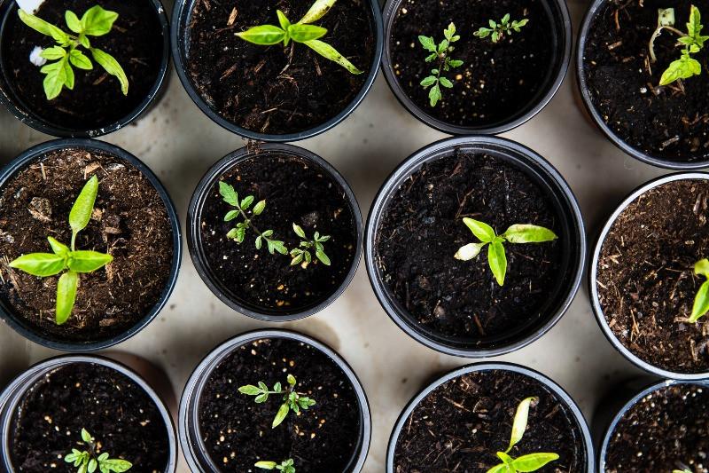 Vegetable seedlings in pots