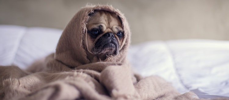 An image of a dog feeling under the weather