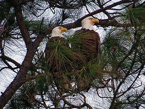 Eagle couple.jpg