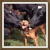 Dog, cows, licking, love, animals