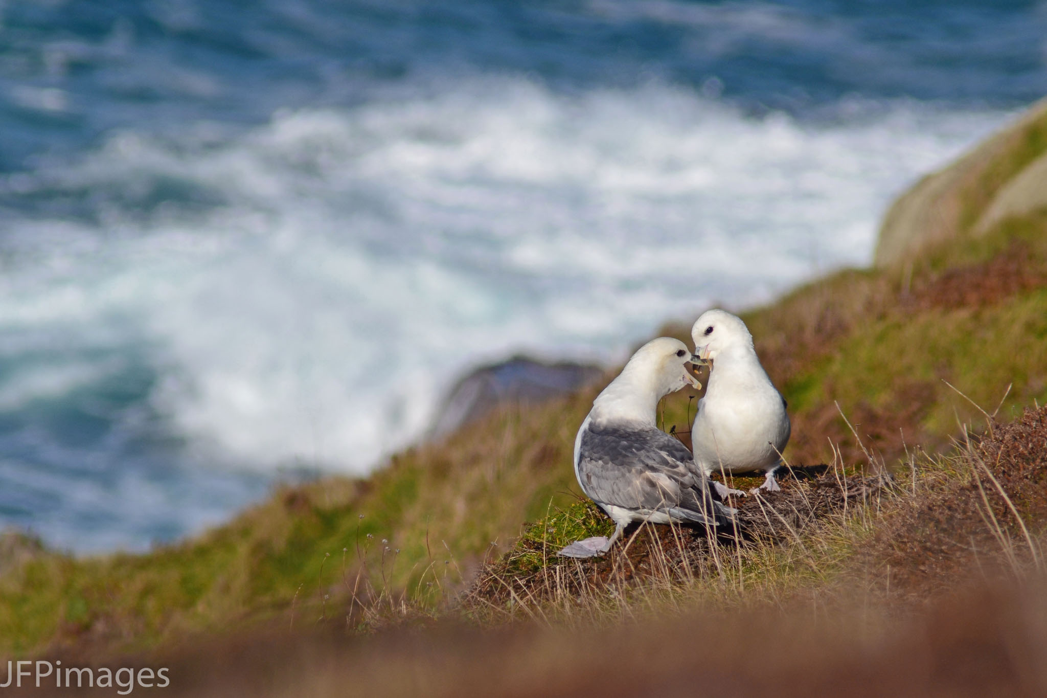 Fulmar Love