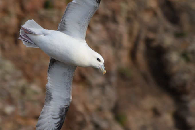 Land's End Fulmar Photography