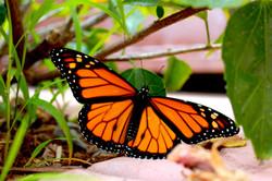 Garrett-Miller-MonarchButterfly-06-12-16 01