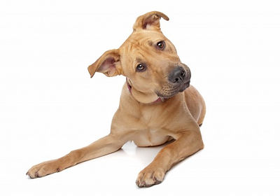 dog wit tilt head wondering why synthetic or artificial grass smells so bad with pet urine