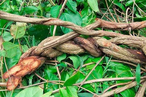 ayahuasca-liana.jpg