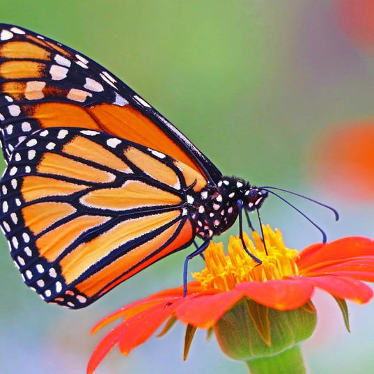 Butterfly (2b).jpg