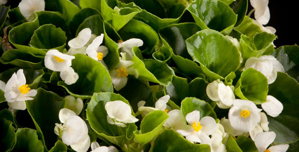 Begonia semperflorens - waterbegonia