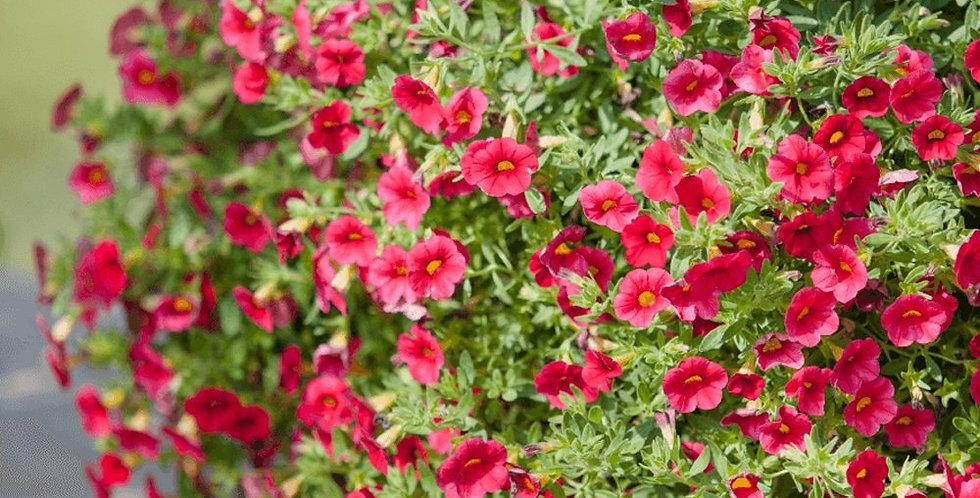 Calibrachoa MILLION BELLS -   Mini hangpetunia