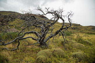 Burnt tree in Torres del Paine