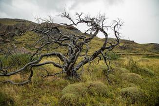 Burnt tree in Torres del Paine