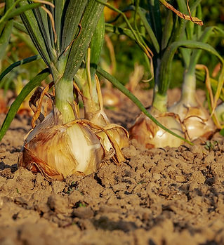 onion-3540502_1280pix.jpg