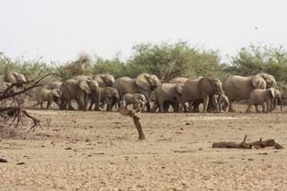 Poaching threatens Mali's rare desert elephants: U.N. mission