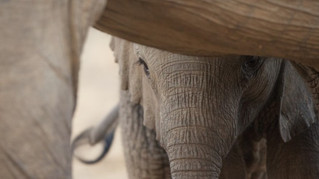Pushing Ivory Out of Africa: A Case Study from the Field