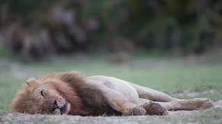 Zimbabwe says Cecil the Lion hunt was definitely illegal