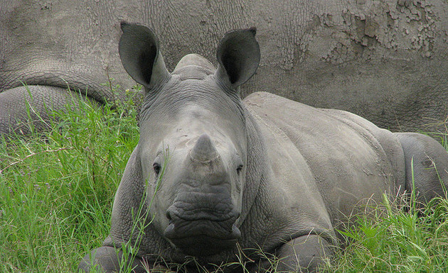 A baby white rhino. Credit: flickr.com/Rosemary