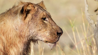 Hunters Bagged 10,000 Lions in Africa Since 2003, Trophy Data Show