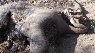 Emergency declared as elephant poached