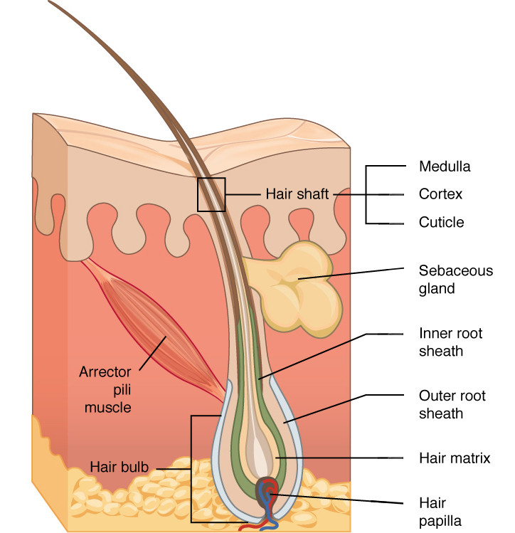 Hair Diagram -  sections of a Hair Follicle - Beautiful Hair - BEAU MANE