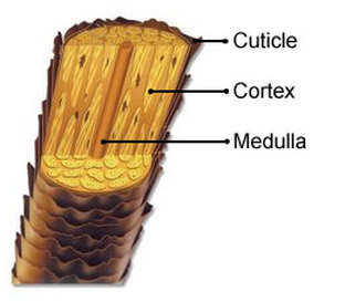 Hair Shaft has three layers of Keratin - Cuticle Cortex Medulla - Beautiful Hair - BEAU MANE