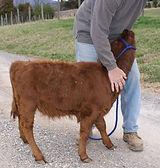 Kirkhaven Farm Dexter cattle for sale