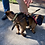 Thumbnail: 2-Point Puppy Starter/Training  Tactical Harness