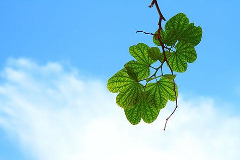 Гранче со листови и небо