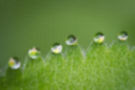 6 капки роза на трева