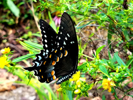 Nature Watch: Spicebush Swallowtail