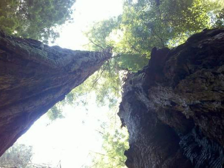 Remembering Muir Woods