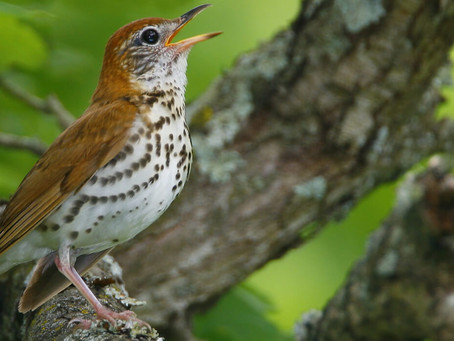 The Wood Thrush's Return