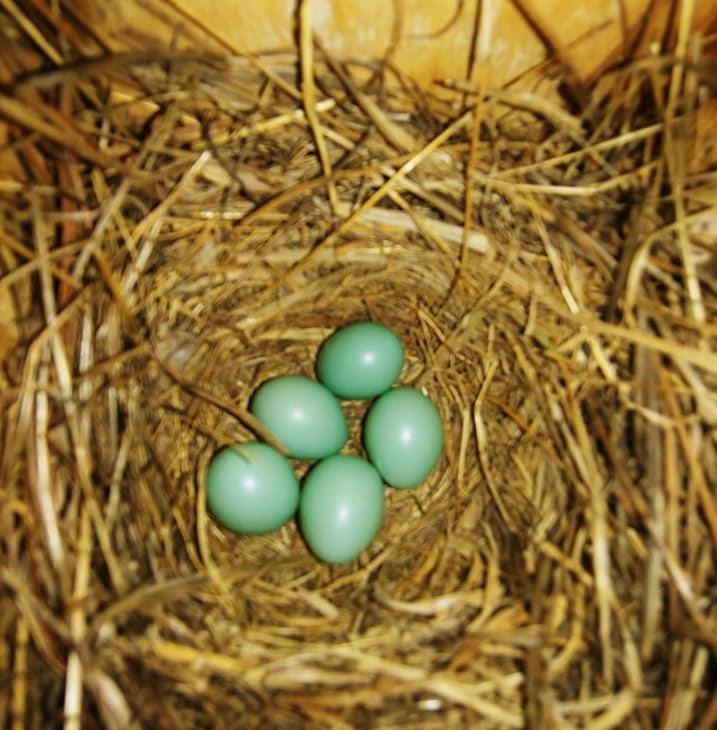 Bluebird Eggs - Spring 2020