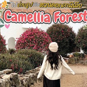ไปถ่ายรูปกับสวนดอกคามิเลีย Jeju Camellia Forest