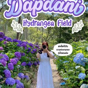 หลงใหลไปกับความสวยงามของทุ่งไฮเดรนเยียที่ Dapdani Hydrangea Field