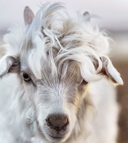 Adorable goat