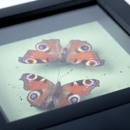 Nymphalidae Pair