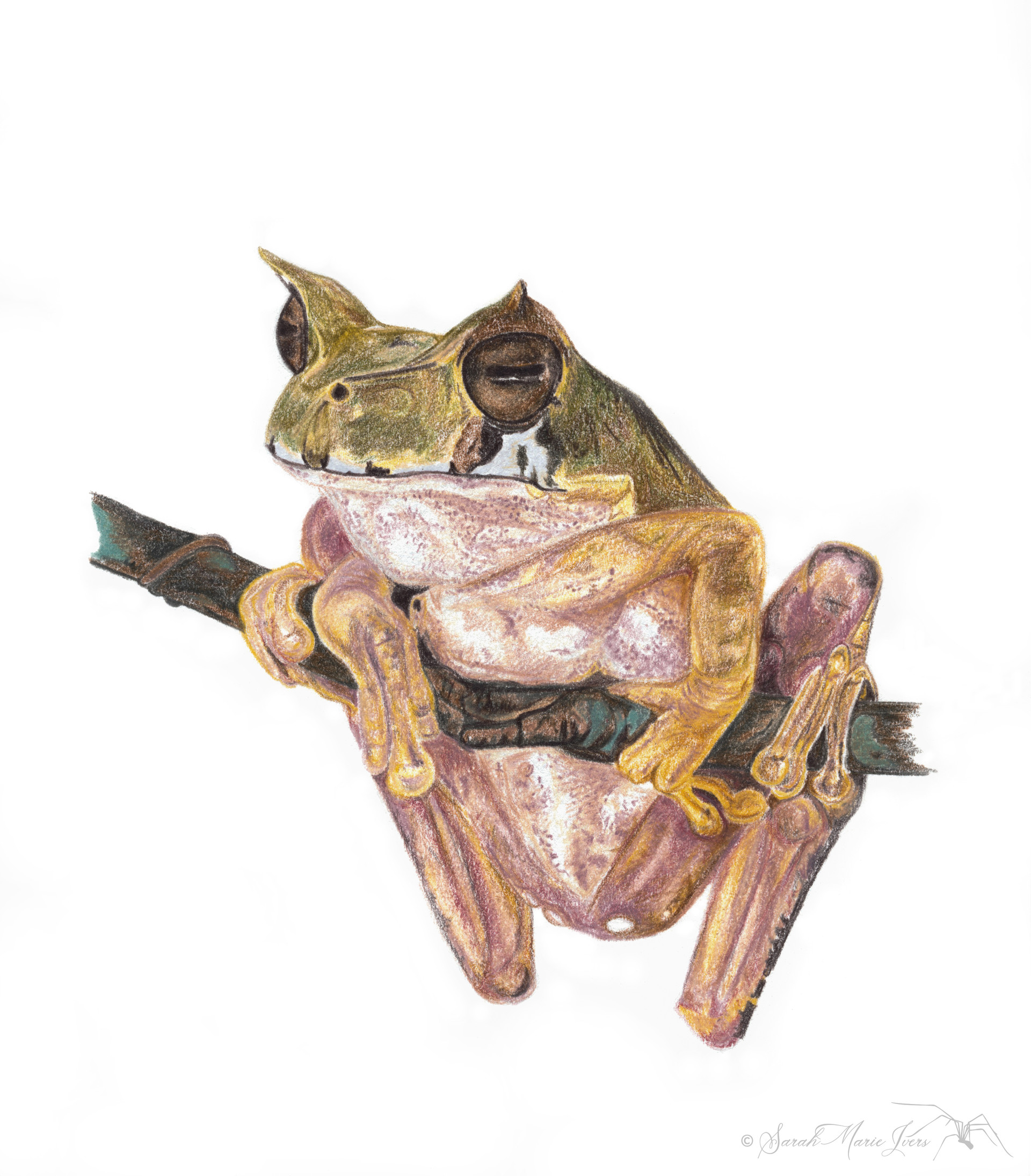 Hooded Marsupial Frog