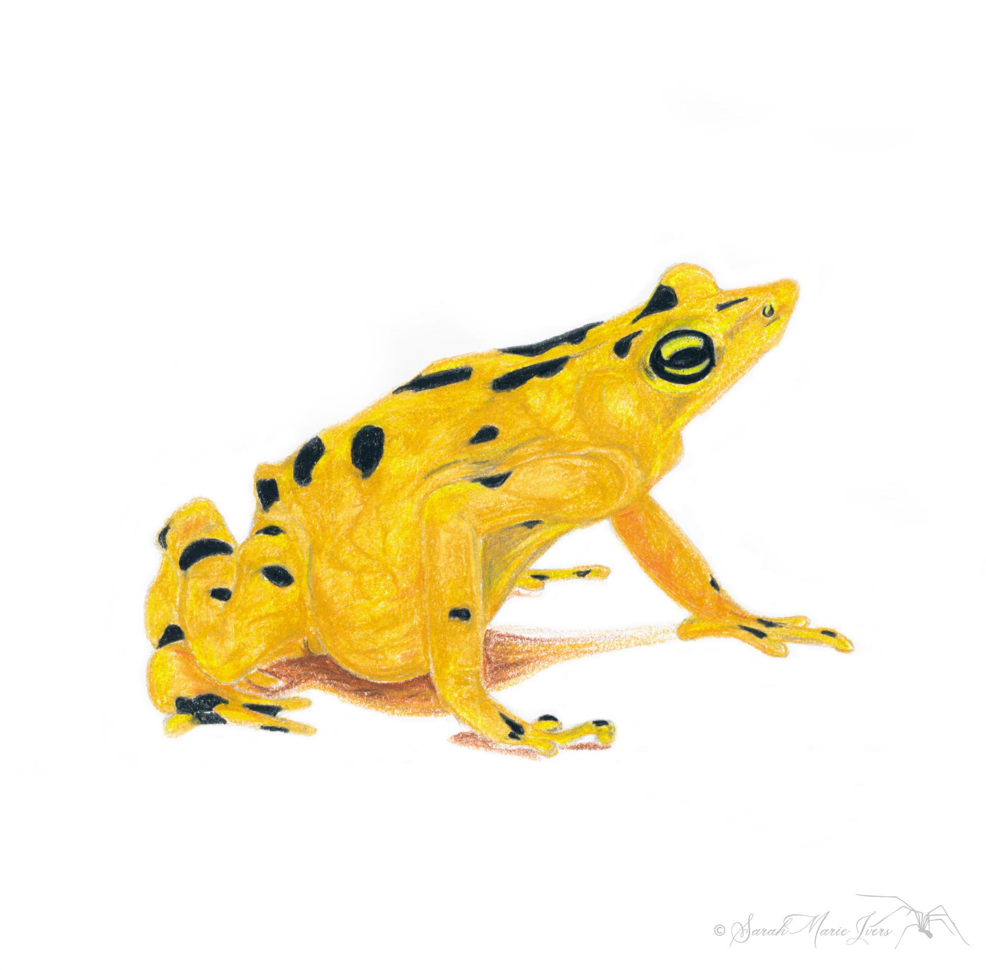 Panamanian Gold Frog