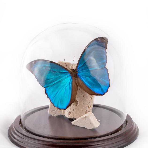 Blue Morpho on Marble Slab