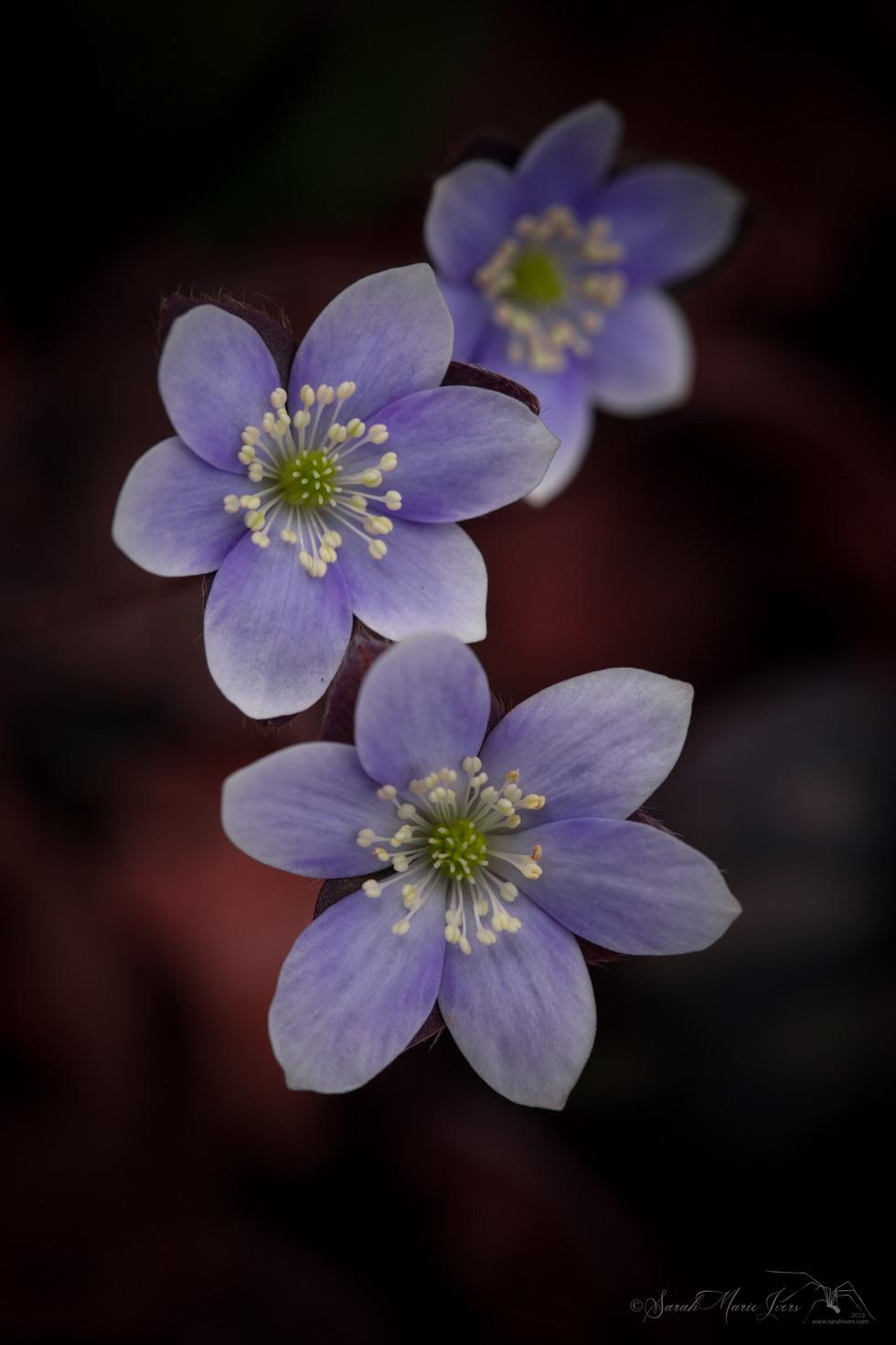 Burgundy Spring