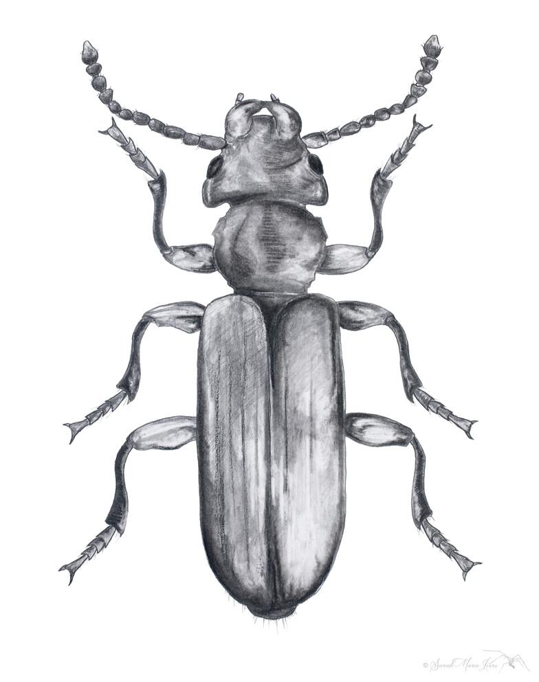 Cucujidae