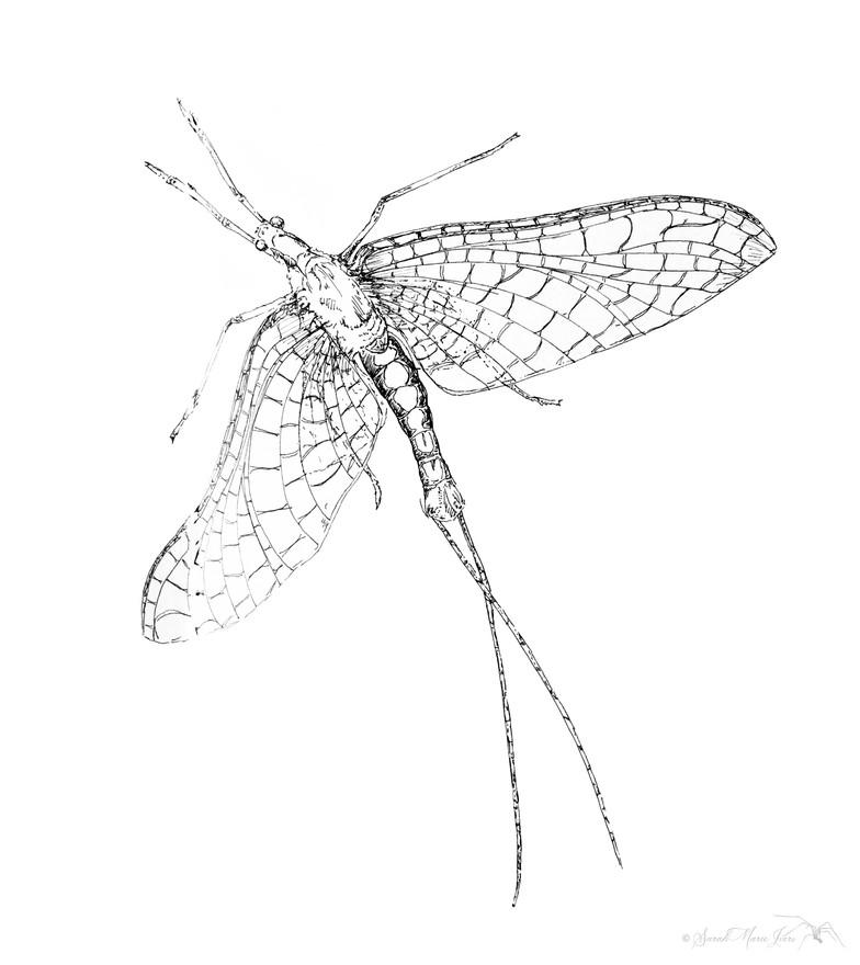 Emphemeroptera