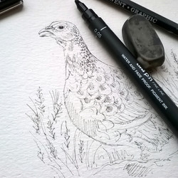 Red Grouse sketch