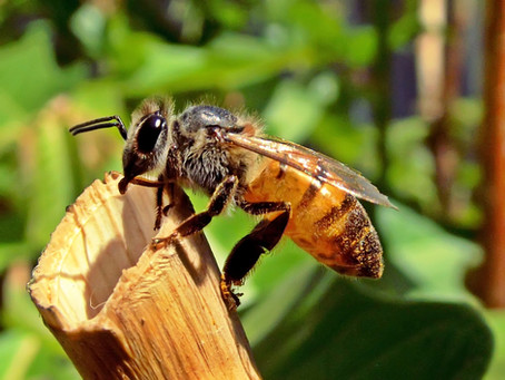Sabe porque hoje é o Dia Mundial da Abelha?