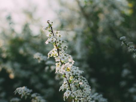Tavaszi gyógyító virágok - a kökény