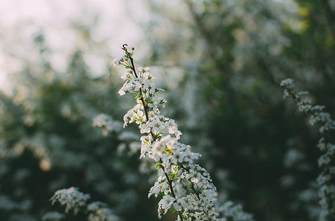 Witte bloemen - Natuur - alternatieve geneeswijze - etherische oliën