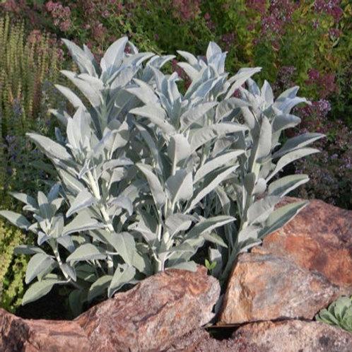White Sage Seeds