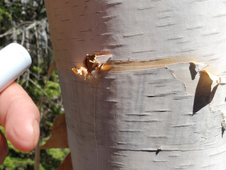 How to Harvest Birch Water and What are the Benefits of drinking Birch Water?